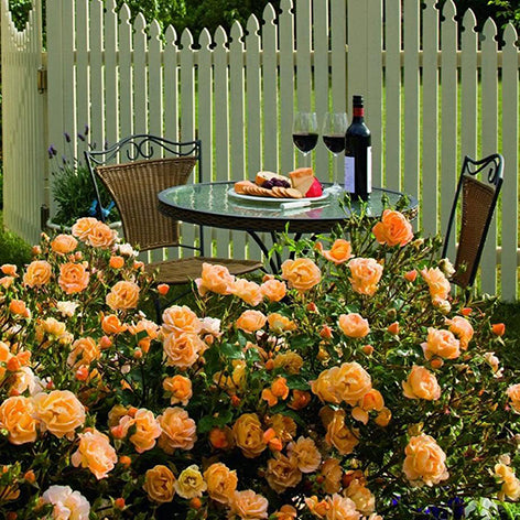 Roses Are Some Of The Best Loved Garden Perennials In World With Their Popularity Spanning Both Continents And Centuries But Gardeners Shy Away