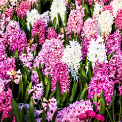 Hyacinth bulbs for sale