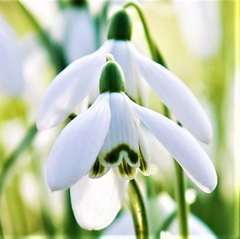 Snowdrop Bulbs for Sale