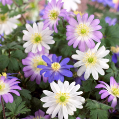 Anemone bulbs for sale