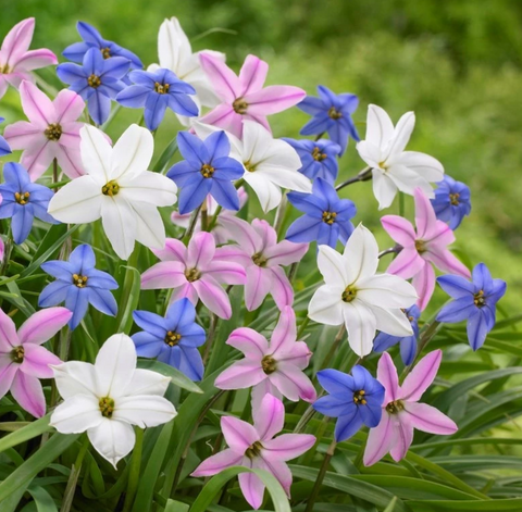 Starflower Bulbs