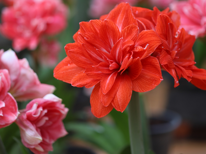 SHOP AMARYLLIS