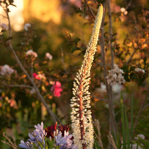 Squill Giant White Planting Guide Easy To Grow Bulbs