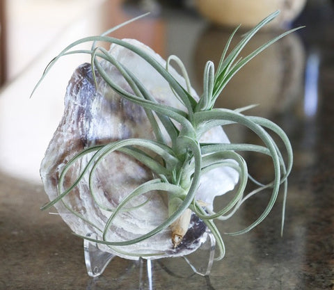 air plant tillandsia mounted on capiz shell