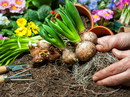 FALL BULBS COMING SOON!   Invest in a Beautiful Spring
