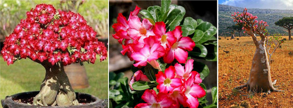 adenium desert rose tree, blooms and plant