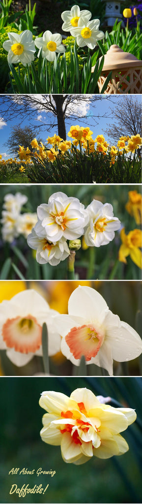 All about planting and growing narcissus daffodils