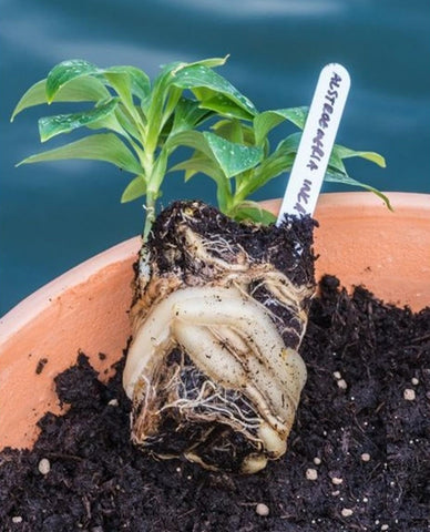 Alstroemeria plug shows extreme vitality of alstroemeria roots