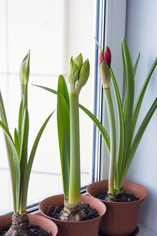 Amaryllis growing in pots