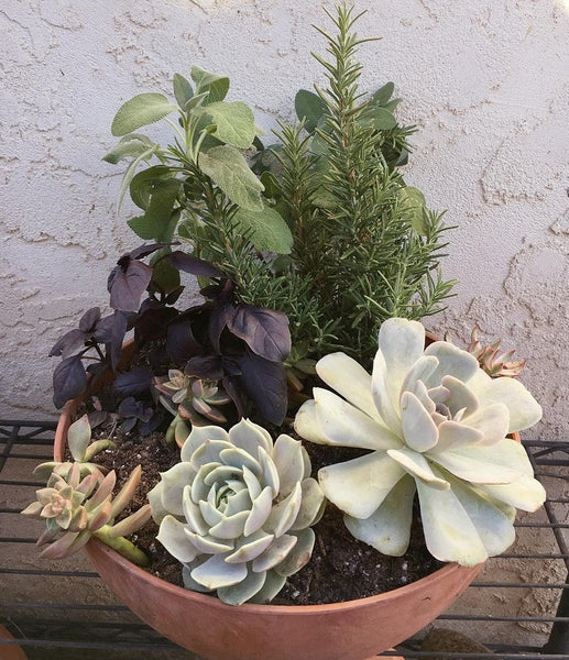 Bowl of mixed succulents echeveria and herbs rosemary sage and basil