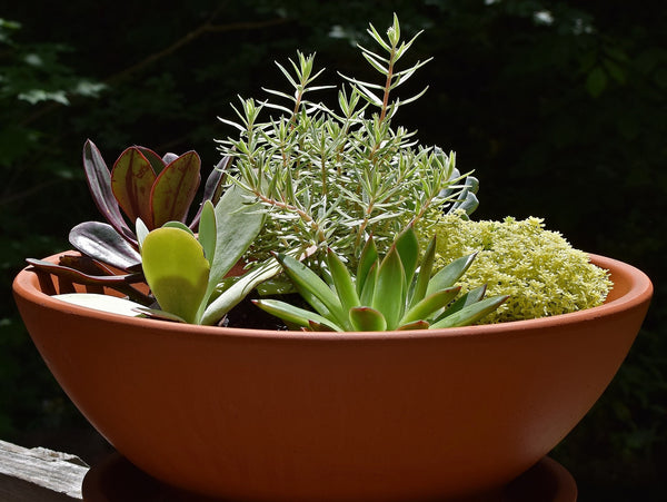 bowl of succulents planted with herb rosemary