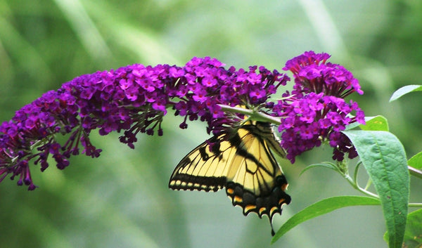 Butterfly feeds on buddleia butterfly bush blooms