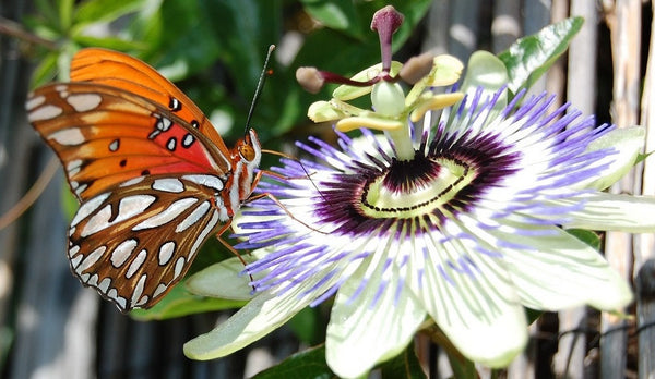 butterfly on passiflora careulea bloom
