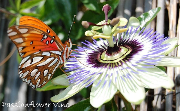 passiflora passionflower vine - - a whimsical dr. seuss type plant