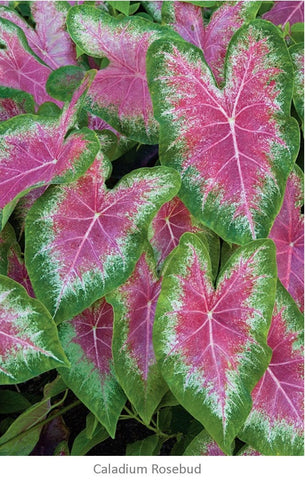 Caladium rosebud is perfect for a tropical garden