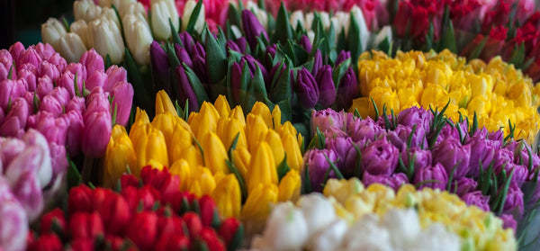 All About Tulips Varieties Flower Forms How To Plant Easy To