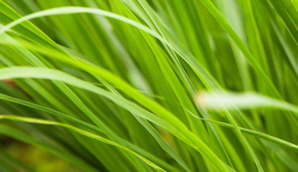 lemongrass is a flavorful and fragrant addition to the garden