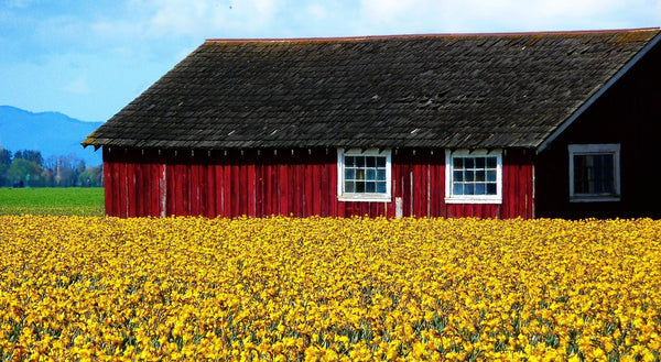 yellow blooming daffodils are closely planted with rustic barn in the distance