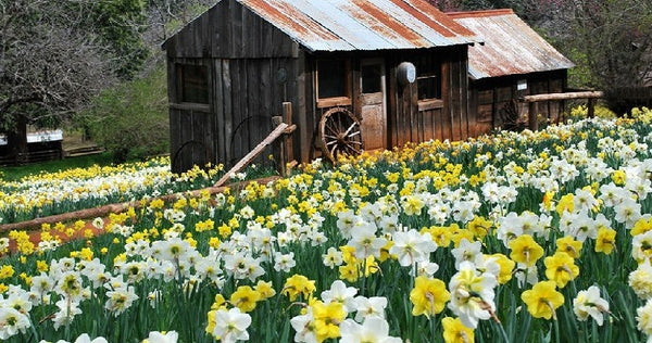 mixed daffodils bloom around the rustic barn of daffodil hill