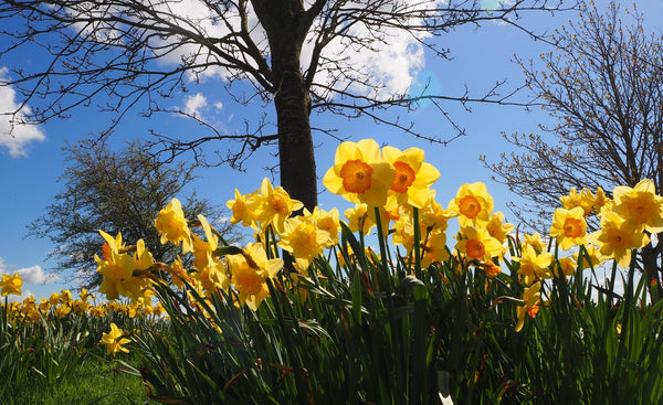 daffodils thrive planted under deciduous trees