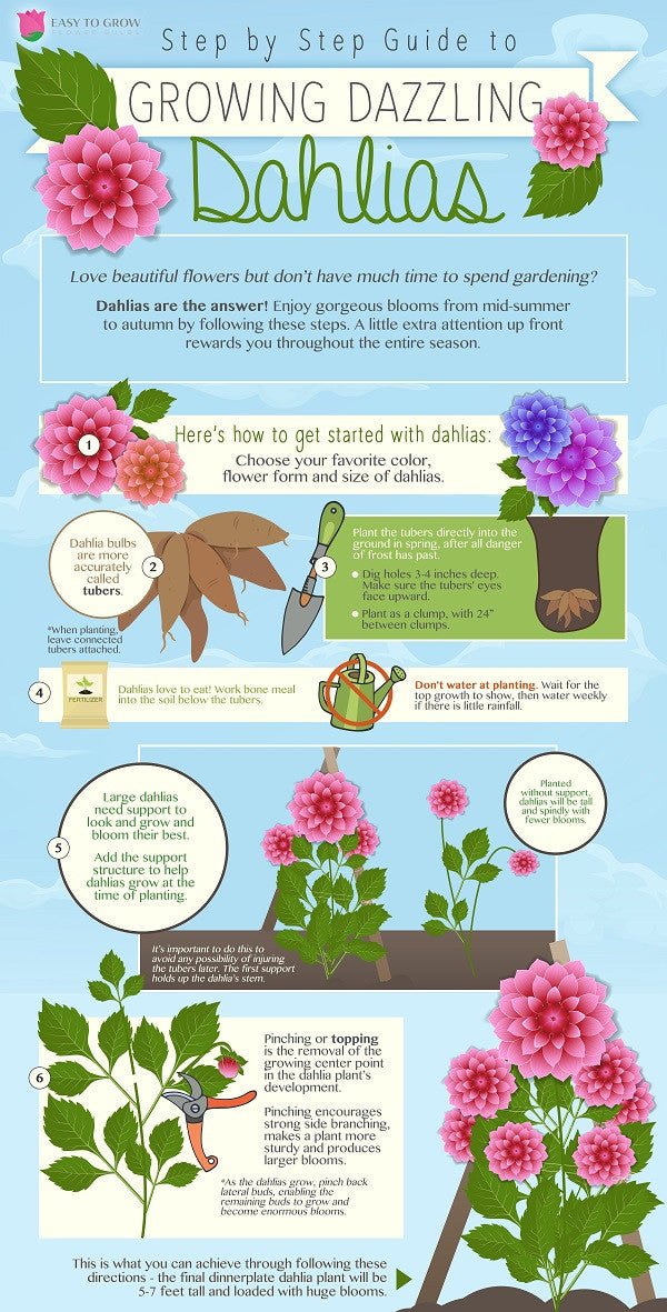 Dahlia Planting Infographic with step by by step information