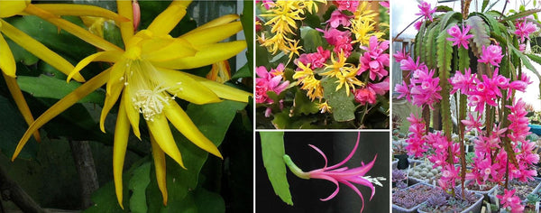 disocactus blooms and plants