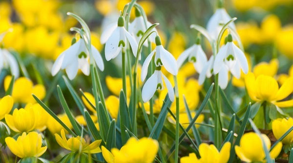 yellow eranthis winter aconite layered with white galanthus snowdrop flowers