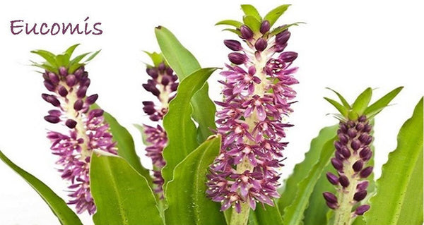 eucomis pineapple lily - - a whimsical dr. seuss type plant
