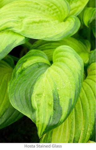 hosta stained glass is perfect for a cold hardy tropical garden