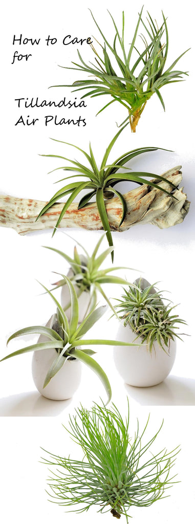 complete guide to tillandsia air plant care