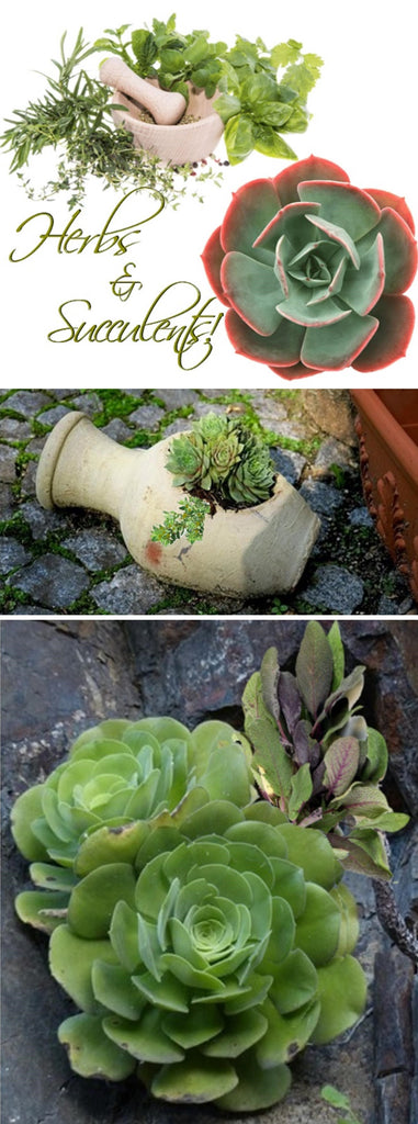 How to grow succulents and herbs together in the same container