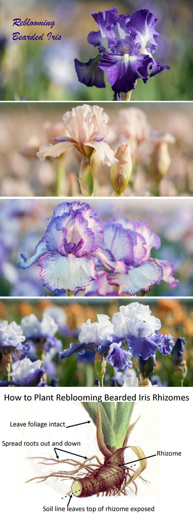 how to plant reblooming bearded iris
