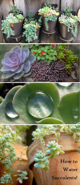 Learn how to properly water your succulent plants