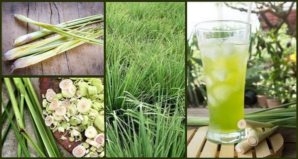 why your garden needs lemongrass