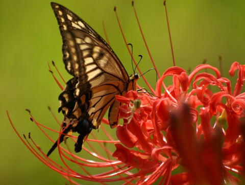 Lycoris Radiata with butterfly
