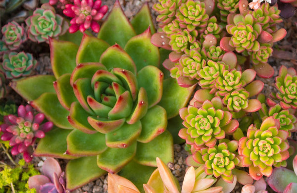 how to water mixed succulent plants
