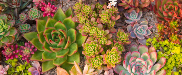 mixed succulents are perfect for summer containers