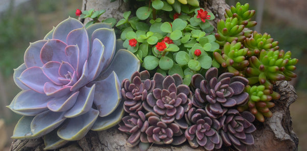 how to water mixed succulents