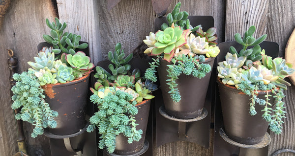 mixed succulents in rustic metal planters