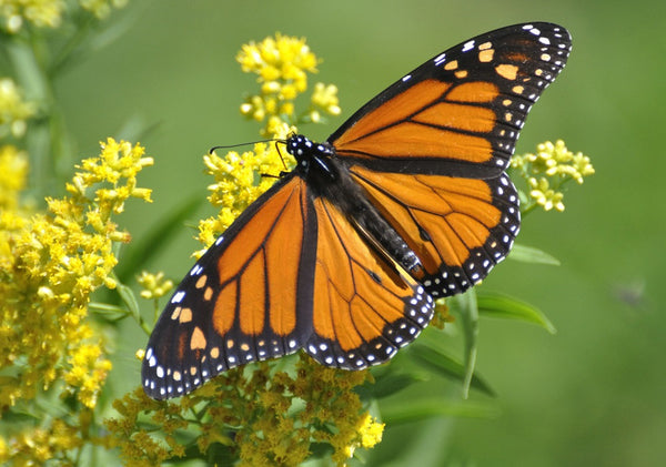 monarch butterfly feeding on yellow asclepias milkweed blooms