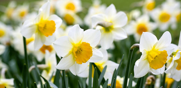 shop fragrant narcissus daffodil Ice Follies