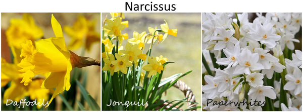 narcissus varieties identifying daffodils jonquils and paperwhites