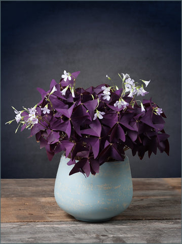 Low-Maintenance Houseplants: Oxalis Triangularis – Easy To ... on house plant rubber plant, poisonous plants with purple leaves, purple foliage plants with leaves, house plants with bronze leaves, house plants with waxy red blooms, house plants and their names, perennial plants with purple leaves, house plants with shiny leaves, house plants with dark red leaves, house plants with small leaves, wandering jew with fuzzy leaves, purple house plant fuzzy leaves, olive tree green leaves, house plant purple heart, house with red flowers, house plants with colorful leaves, house plants with light green leaves, florida plants with red leaves, tomato plants with purple leaves, house plants with long green leaves,