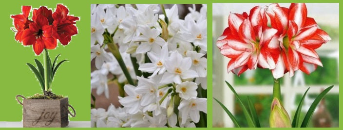 Amaryllis and paperwhites ship now