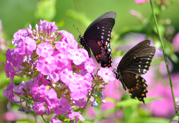 Butterflies feeding on pink garden phlox blooms