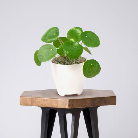 Pilea for sale