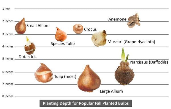 Chart showing proper planting depth of most popular fall planted flower bulbs