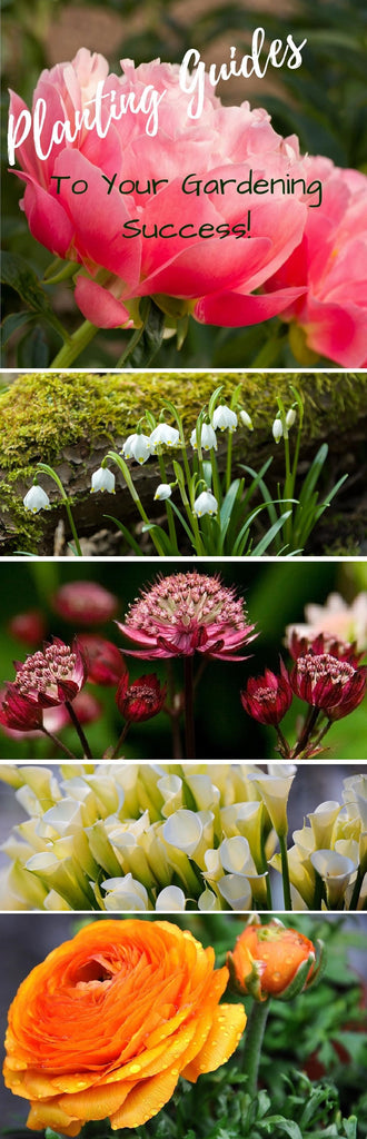 Detailed planting Guides for peonies, leucojum, callas and more