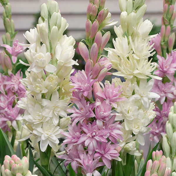 Fragrant white and pink tuberoses