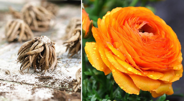 Ranunculus bulbs and the bloom